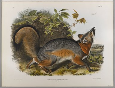 John James  Audubon (American, born Haiti, 1785-1851). <em>Grey Fox</em>. Lithograph, 21 7/8 x 28 in. (55.6 x 71.1 cm). Brooklyn Museum, Gift of the Estate of Emily Winthrop Miles, 64.98.31 (Photo: Brooklyn Museum, 64.98.31_IMLS_PS4.jpg)