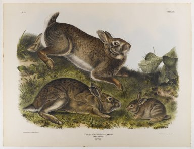 John James  Audubon (American, born Haiti, 1785-1851). <em>Grey Rabbit</em>. Lithograph, 21 x 27 in. (53.3 x 68.6 cm). Brooklyn Museum, Gift of the Estate of Emily Winthrop Miles, 64.98.32 (Photo: Brooklyn Museum, 64.98.32_IMLS_PS4.jpg)