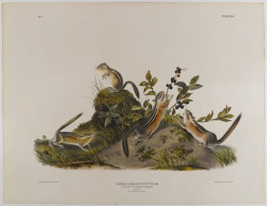 John James  Audubon (American, born Haiti, 1785-1851). <em>Four-Striped Ground Squirrel</em>. Lithograph, 21 x 27 in. (53.3 x 68.6 cm). Brooklyn Museum, Gift of the Estate of Emily Winthrop Miles, 64.98.33 (Photo: Brooklyn Museum, 64.98.33_IMLS_PS4.jpg)