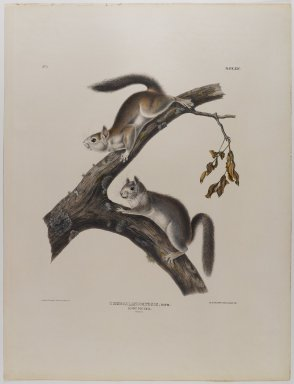 John James  Audubon (American, born Haiti, 1785-1851). <em>Downy Squirrel</em>. Lithograph, 21 x 27 in. (53.3 x 68.6 cm). Brooklyn Museum, Gift of the Estate of Emily Winthrop Miles, 64.98.34 (Photo: Brooklyn Museum, 64.98.34_IMLS_PS4.jpg)