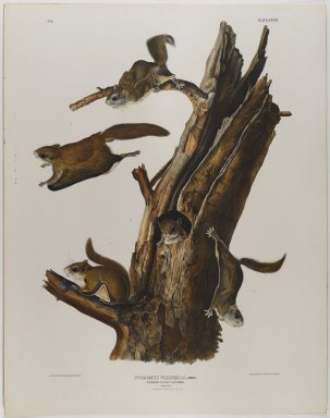 John James  Audubon (American, born Haiti, 1785-1851). <em>Common Flying Squirrel</em>. Lithograph, 28 x 21 7/8 in. (71.1 x 55.6 cm). Brooklyn Museum, Gift of the Estate of Emily Winthrop Miles, 64.98.36 (Photo: Brooklyn Museum, 64.98.36_IMLS_PS4.jpg)