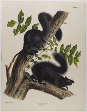 John James  Audubon (American, born Haiti, 1785-1851). <em>Black Squirrel</em>. Lithograph, 27 x 21 in. (68.6 x 53.3 cm). Brooklyn Museum, Gift of the Estate of Emily Winthrop Miles, 64.98.37 (Photo: Brooklyn Museum, 64.98.37_IMLS_PS4.jpg)