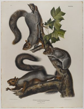 John James  Audubon (American, born Haiti, 1785-1851). <em>Migratory Squirrel</em>. Lithograph, 27 x 21 in. (68.6 x 53.3 cm). Brooklyn Museum, Gift of the Estate of Emily Winthrop Miles, 64.98.38 (Photo: Brooklyn Museum, 64.98.38_IMLS_PS4.jpg)