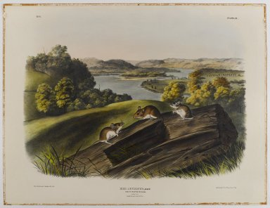 John James  Audubon (American, born Haiti, 1785-1851). <em>White-Footed Mouse</em>. Lithograph, 21 x 27 in. (53.3 x 68.6 cm). Brooklyn Museum, Gift of the Estate of Emily Winthrop Miles, 64.98.39 (Photo: Brooklyn Museum, 64.98.39_IMLS_PS4.jpg)