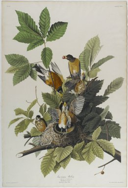 John James  Audubon (American, born Haiti, 1785-1851). <em>American Robin</em>, 1832. Aquatint in color, approx.: 27 x 40 in. (68.6 x 101.6 cm). Brooklyn Museum, Gift of the Estate of Emily Winthrop Miles, 64.98.3 (Photo: Brooklyn Museum, 64.98.3_PS1.jpg)