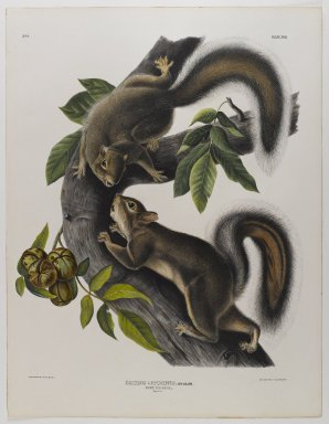 John James  Audubon (American, born Haiti, 1785-1851). <em>Hare Squirrel</em>. Lithograph, 27 x 21 in. (68.6 x 53.3 cm). Brooklyn Museum, Gift of the Estate of Emily Winthrop Miles, 64.98.41 (Photo: Brooklyn Museum, 64.98.41_IMLS_PS4.jpg)