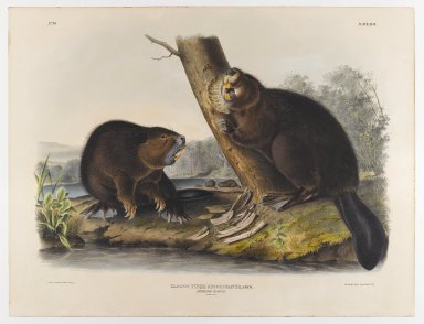 John James  Audubon (American, born Haiti, 1785-1851). <em>American Beaver</em>, 1844. Lithograph, 21 x 27 in. (53.3 x 68.6 cm). Brooklyn Museum, Gift of the Estate of Emily Winthrop Miles, 64.98.42 (Photo: Brooklyn Museum, 64.98.42_IMLS_PS4.jpg)