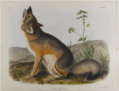 John James  Audubon (American, born Haiti, 1785-1851). <em>Swift Fox</em>. Lithograph, 21 x 27 in. (53.3 x 68.6 cm). Brooklyn Museum, Gift of the Estate of Emily Winthrop Miles, 64.98.43 (Photo: Brooklyn Museum, 64.98.43_IMLS_PS4.jpg)