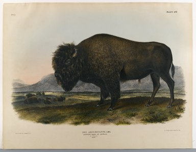 John James  Audubon (American, born Haiti, 1785-1851). <em>American Bison or Buffalo</em>. Lithograph, 21 x 26 1/2 in. (53.3 x 67.3 cm). Brooklyn Museum, Gift of the Estate of Emily Winthrop Miles, 64.98.45 (Photo: Brooklyn Museum, 64.98.45_IMLS_PS4.jpg)