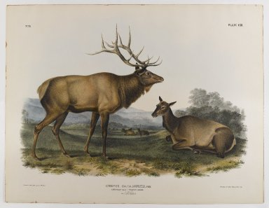 John James  Audubon (American, born Haiti, 1785-1851). <em>American Elk</em>, 1845. Lithograph, 27 x 21 in. (68.6 x 53.3 cm). Brooklyn Museum, Gift of the Estate of Emily Winthrop Miles, 64.98.46 (Photo: Brooklyn Museum, 64.98.46_IMLS_PS4.jpg)