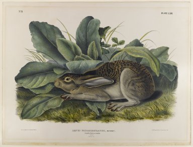John James  Audubon (American, born Haiti, 1785-1851). <em>Black-Tailed Hare</em>. Lithograph, 27 x 21 in. (68.6 x 53.3 cm). Brooklyn Museum, Gift of the Estate of Emily Winthrop Miles, 64.98.47 (Photo: Brooklyn Museum, 64.98.47_IMLS_PS4.jpg)
