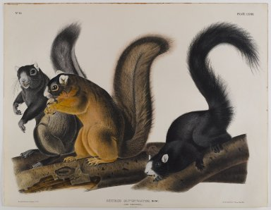 John James  Audubon (American, born Haiti, 1785-1851). <em>Fox Squirrel</em>. Lithograph, 21 x 27 in. (53.3 x 68.6 cm). Brooklyn Museum, Gift of the Estate of Emily Winthrop Miles, 64.98.49 (Photo: Brooklyn Museum, 64.98.49_IMLS_PS4.jpg)