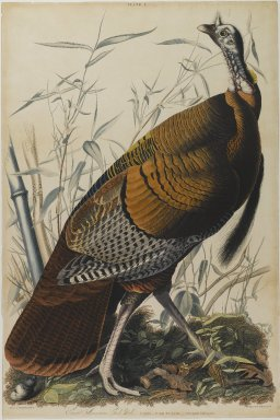 John James  Audubon (American, born Haiti, 1785-1851). <em>Great American Cock</em>. Aquatint in color, approx.: 27 x 40 in. (68.6 x 101.6 cm). Brooklyn Museum, Gift of the Estate of Emily Winthrop Miles, 64.98.4 (Photo: Brooklyn Museum, 64.98.4_PS1.jpg)