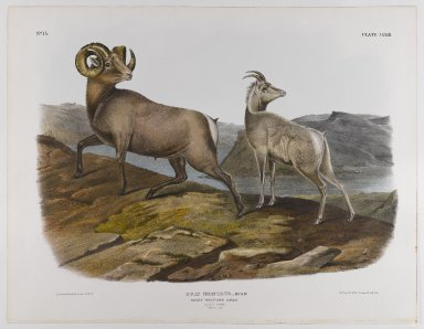 John James  Audubon (American, born Haiti, 1785-1851). <em>Rocky Mountain Sheep</em>, 1845. Lithograph, 21 x 27 in. (53.3 x 68.6 cm). Brooklyn Museum, Gift of the Estate of Emily Winthrop Miles, 64.98.50 (Photo: Brooklyn Museum, 64.98.50_IMLS_PS4.jpg)