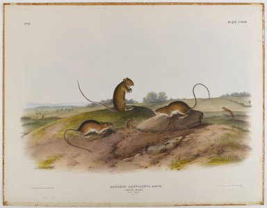 John James  Audubon (American, born Haiti, 1785-1851). <em>Jumping Mouse</em>. Lithograph, 21 x 27 in. (53.3 x 68.6 cm). Brooklyn Museum, Gift of the Estate of Emily Winthrop Miles, 64.98.52 (Photo: Brooklyn Museum, 64.98.52_IMLS_PS4.jpg)