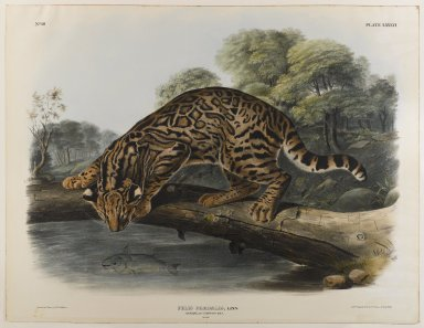 John James  Audubon (American, born Haiti, 1785-1851). <em>Ocelot or Leopard-Cat</em>. Lithograph, 27 x 21 in. (68.6 x 53.3 cm). Brooklyn Museum, Gift of the Estate of Emily Winthrop Miles, 64.98.53 (Photo: Brooklyn Museum, 64.98.53_IMLS_PS4.jpg)