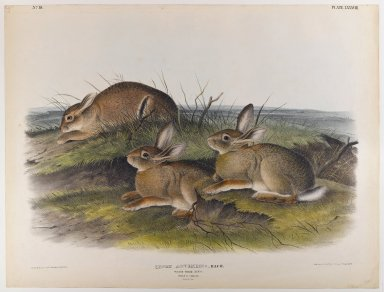 John James  Audubon (American, born Haiti, 1785-1851). <em>Worm Wood Hare</em>. Lithograph, 21 x 27 in. (53.3 x 68.6 cm). Brooklyn Museum, Gift of the Estate of Emily Winthrop Miles, 64.98.54 (Photo: Brooklyn Museum, 64.98.54_IMLS_PS4.jpg)
