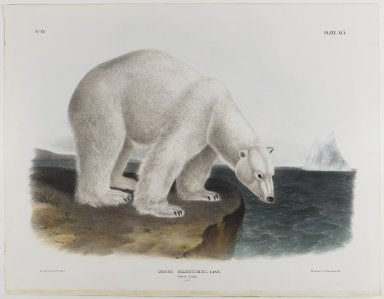 John James  Audubon (American, born Haiti, 1785-1851). <em>Polar Bear</em>. Lithograph, 21 x 27 in. (53.3 x 68.6 cm). Brooklyn Museum, Gift of the Estate of Emily Winthrop Miles, 64.98.56 (Photo: Brooklyn Museum, 64.98.56_IMLS_PS4.jpg)