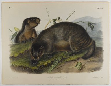 John James  Audubon (American, born Haiti, 1785-1851). <em>Hoary Marmot - The Whistler</em>. Lithograph, 21 x 27 in. (53.3 x 68.6 cm). Brooklyn Museum, Gift of the Estate of Emily Winthrop Miles, 64.98.58 (Photo: Brooklyn Museum, 64.98.58_IMLS_PS4.jpg)