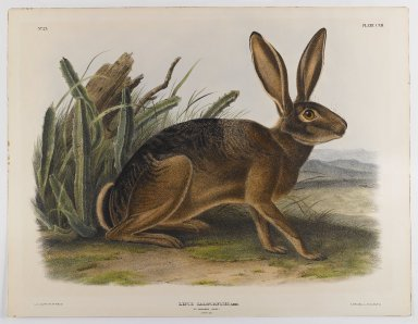 John James  Audubon (American, born Haiti, 1785-1851). <em>California Hare</em>, 1847. Lithograph, 21 x 27 in. (53.3 x 68.6 cm). Brooklyn Museum, Gift of the Estate of Emily Winthrop Miles, 64.98.59 (Photo: Brooklyn Museum, 64.98.59_IMLS_PS4.jpg)