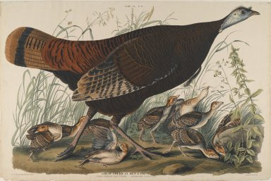 John James  Audubon (American, born Haiti, 1785-1851). <em>Great American Hen and Young</em>. Aquatint, Sheet: 26 1/4 x 39 3/4 in. (66.7 x 101 cm). Brooklyn Museum, Gift of the Estate of Emily Winthrop Miles, 64.98.5 (Photo: Brooklyn Museum, 64.98.5_PS2.jpg)