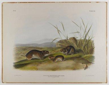 John James  Audubon (American, born Haiti, 1785-1851). <em>Yellow-Cheeked Meadow Mouse</em>. Lithograph, 21 x 27 in. (53.3 x 68.6 cm). Brooklyn Museum, Gift of the Estate of Emily Winthrop Miles, 64.98.60 (Photo: Brooklyn Museum, 64.98.60_IMLS_PS4.jpg)