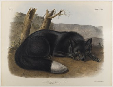 John James  Audubon (American, born Haiti, 1785-1851). <em>American Black or Silver Fox</em>. Lithograph, 21 x 27 in. (53.3 x 68.6 cm). Brooklyn Museum, Gift of the Estate of Emily Winthrop Miles, 64.98.61 (Photo: Brooklyn Museum, 64.98.61_IMLS_PS4.jpg)