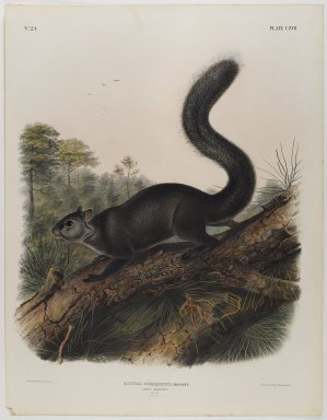 John James  Audubon (American, born Haiti, 1785-1851). <em>Dusky Squirrel</em>. Lithograph, 27 x 21 in. (68.6 x 53.3 cm). Brooklyn Museum, Gift of the Estate of Emily Winthrop Miles, 64.98.62 (Photo: Brooklyn Museum, 64.98.62_IMLS_PS4.jpg)
