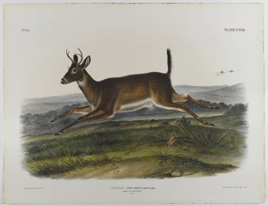 John James  Audubon (American, born Haiti, 1785-1851). <em>Long-Tailed Deer</em>, 1847. Lithograph, 21 x 27 in. (53.3 x 68.6 cm). Brooklyn Museum, Gift of the Estate of Emily Winthrop Miles, 64.98.63 (Photo: Brooklyn Museum, 64.98.63_IMLS_PS4.jpg)