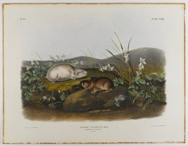 John James  Audubon (American, born Haiti, 1785-1851). <em>Hudson's Bay Lemming</em>. Lithograph, 21 x 27 in. (53.3 x 68.6 cm). Brooklyn Museum, Gift of the Estate of Emily Winthrop Miles, 64.98.64 (Photo: Brooklyn Museum, 64.98.64_IMLS_PS4.jpg)