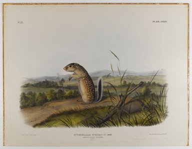 John James  Audubon (American, born Haiti, 1785-1851). <em>Mexican Marmot Squirrel</em>. Lithograph, 21 x 27 in. (53.3 x 68.6 cm). Brooklyn Museum, Gift of the Estate of Emily Winthrop Miles, 64.98.66 (Photo: Brooklyn Museum, 64.98.66_IMLS_PS4.jpg)