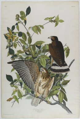 John James  Audubon (American, born Haiti, 1785-1851). <em>Broad Winged Hawk</em>, 1830. Aquatint, approx.: 27 x 40 in. (68.6 x 101.6 cm). Brooklyn Museum, Gift of the Estate of Emily Winthrop Miles, 64.98.6 (Photo: Brooklyn Museum, 64.98.6_PS1.jpg)