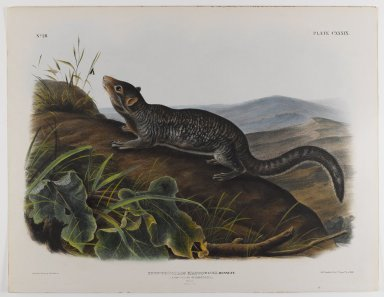 John James  Audubon (American, born Haiti, 1785-1851). <em>Large-Tailed Spermophile</em>. Lithograph, 21 x 27 in. (53.3 x 68.6 cm). Brooklyn Museum, Gift of the Estate of Emily Winthrop Miles, 64.98.70 (Photo: Brooklyn Museum, 64.98.70_IMLS_PS4.jpg)