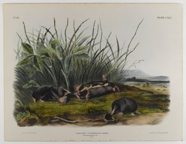 John James  Audubon (American, born Haiti, 1785-1851). <em>Townsend's Shrew Mole</em>. Lithograph, 21 x 27 in. (53.3 x 68.6 cm). Brooklyn Museum, Gift of the Estate of Emily Winthrop Miles, 64.98.72 (Photo: Brooklyn Museum, 64.98.72_IMLS_PS4.jpg)