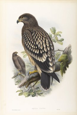 John Gould (British, 1804-1881). <em>Aquila Naevia - Spotted Eagle</em>. Lithograph on wove paper, Sheet: 21 1/4 x 14 1/2 in. (54 x 36.8 cm). Brooklyn Museum, Gift of the Estate of Emily Winthrop Miles, 64.98.74 (Photo: Brooklyn Museum, 64.98.74_PS9.jpg)