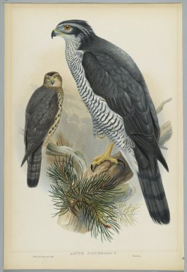 John Gould (British, 1804-1881). <em>Astur Palumbarius - Goshawk</em>. Lithograph on wove paper, Sheet: 21 1/4 x 14 1/2 in. (54 x 36.8 cm). Brooklyn Museum, Gift of the Estate of Emily Winthrop Miles, 64.98.75 (Photo: Brooklyn Museum, 64.98.75_PS2.jpg)