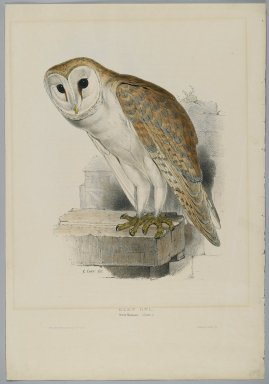 John Gould (British, 1804-1881). <em>Strix Flammea - Barn Owl</em>. Lithograph on wove paper, Sheet: 21 1/4 x 14 1/2 in. (54 x 36.8 cm). Brooklyn Museum, Gift of the Estate of Emily Winthrop Miles, 64.98.77 (Photo: Brooklyn Museum, 64.98.77_PS2.jpg)