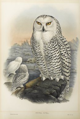 John Gould (British, 1804-1881). <em>Nyctea Nivea - Snowy Owl</em>. Lithograph on wove paper, Sheet: 21 1/4 x 14 1/2 in. (54 x 36.8 cm). Brooklyn Museum, Gift of the Estate of Emily Winthrop Miles, 64.98.79 (Photo: Brooklyn Museum, 64.98.79_PS9.jpg)