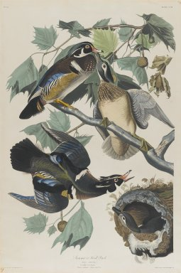 John James  Audubon (American, born Haiti, 1785-1851). <em>Summer or Wood Duck</em>, 1834. Black-ink etching, aquatint and engraving toned by hand with opaque and transparent watercolors, Sheet: 38 1/2 x 25 3/4 in. (97.8 x 65.4 cm). Brooklyn Museum, Gift of the Estate of Emily Winthrop Miles, 64.98.7 (Photo: Brooklyn Museum, 64.98.7_PS2.jpg)