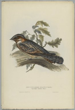 John Gould (British, 1804-1881). <em>Caprimulgus Rugicollis</em>. Lithograph on wove paper, Sheet: 21 1/4 x 14 1/2 in. (54 x 36.8 cm). Brooklyn Museum, Gift of the Estate of Emily Winthrop Miles, 64.98.81 (Photo: Brooklyn Museum, 64.98.81_PS2.jpg)