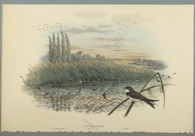 John Gould (British, 1804-1881). <em>Cotyle Riparia</em>. Lithograph on wove paper, Sheet: 21 1/4 x 14 1/2 in. (54 x 36.8 cm). Brooklyn Museum, Gift of the Estate of Emily Winthrop Miles, 64.98.82 (Photo: Brooklyn Museum, 64.98.82_PS2.jpg)