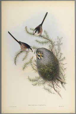 John Gould (British, 1804-1881). <em>Mecistura Caudata - Long-Tailed Tit</em>. Lithograph on wove paper, Sheet: 21 1/4 x 14 1/2 in. (54 x 36.8 cm). Brooklyn Museum, Gift of the Estate of Emily Winthrop Miles, 64.98.83 (Photo: Brooklyn Museum, 64.98.83_PS2.jpg)