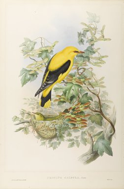 John Gould (British, 1804-1881). <em>Oriolus Galbula - Golden Oriole</em>. Lithograph on wove paper, Sheet: 21 1/4 x 14 1/2 in. (54 x 36.8 cm). Brooklyn Museum, Gift of the Estate of Emily Winthrop Miles, 64.98.84 (Photo: Brooklyn Museum, 64.98.84_PS9.jpg)