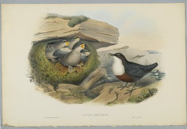 John Gould (British, 1804-1881). <em>Cinclus Aquaticus - Water Ousel or Dipper</em>. Lithograph on wove paper, Sheet: 21 1/4 x 14 1/2 in. (54 x 36.8 cm). Brooklyn Museum, Gift of the Estate of Emily Winthrop Miles, 64.98.86 (Photo: Brooklyn Museum, 64.98.86_PS2.jpg)