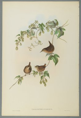 John Gould (British, 1804-1881). <em>Troglodytes Europaeus - Common Wren</em>. Lithograph on wove paper, Sheet: 21 1/4 x 14 1/2 in. (54 x 36.8 cm). Brooklyn Museum, Gift of the Estate of Emily Winthrop Miles, 64.98.87 (Photo: Brooklyn Museum, 64.98.87_PS2.jpg)