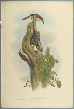 John Gould (British, 1804-1881). <em>Certhia Familiaris - Tree Creeper</em>. Lithograph on wove paper, Sheet: 21 1/4 x 14 1/2 in. (54 x 36.8 cm). Brooklyn Museum, Gift of the Estate of Emily Winthrop Miles, 64.98.88 (Photo: Brooklyn Museum, 64.98.88_PS2.jpg)