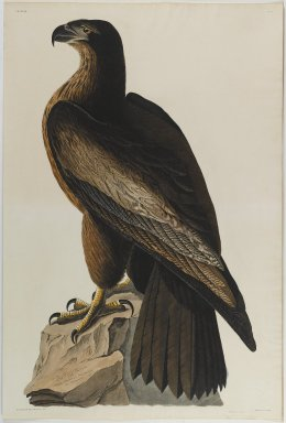 John James  Audubon (American, born Haiti, 1785-1851). <em>Bird of Washington or Great American Sea Eagle</em>. Aquatint, approx.: 27 x 40 in. (68.6 x 101.6 cm). Brooklyn Museum, Gift of the Estate of Emily Winthrop Miles, 64.98.8 (Photo: Brooklyn Museum, 64.98.8_PS1.jpg)