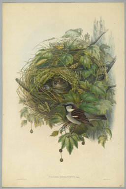 John Gould (British, 1804-1881). <em>Passer Domesticus - Common House Sparrow</em>. Lithograph on wove paper, Sheet: 21 1/4 x 14 1/2 in. (54 x 36.8 cm). Brooklyn Museum, Gift of the Estate of Emily Winthrop Miles, 64.98.90 (Photo: Brooklyn Museum, 64.98.90_PS2.jpg)