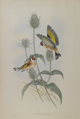 John Gould (British, 1804-1881). <em>Carduelis Elegans - Goldfinch</em>. Lithograph on wove paper, Sheet: 21 1/4 x 14 1/2 in. (54 x 36.8 cm). Brooklyn Museum, Gift of the Estate of Emily Winthrop Miles, 64.98.92 (Photo: Brooklyn Museum, 64.98.92_PS4.jpg)