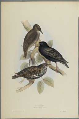 John Gould (British, 1804-1881). <em>Sturnus Vulgaris - Starling</em>. Lithograph on wove paper, Sheet: 21 1/4 x 14 in. (54 x 35.6 cm). Brooklyn Museum, Gift of the Estate of Emily Winthrop Miles, 64.98.94a-b (Photo: Brooklyn Museum, 64.98.94b_PS2.jpg)